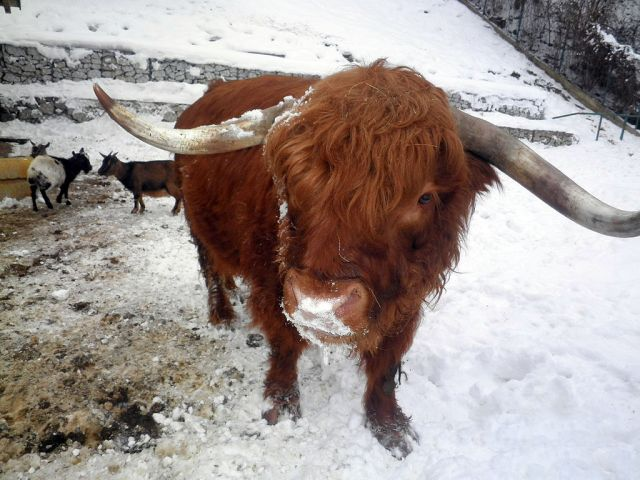 highland cow in the snow