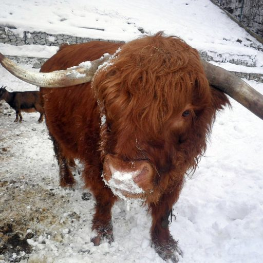 cropped-cow2.jpg